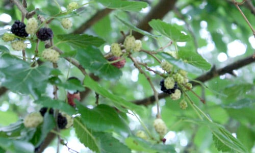 mulberries on our backyard tree