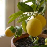 a lemon tree can grow by a sunny window