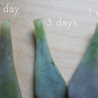 How-to: Propagate Succulents