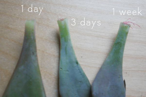 three succulent leaves at different stages of propagation