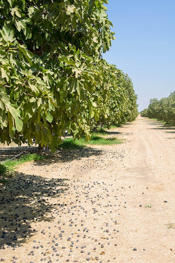 row of fig trees in a California fig orchard