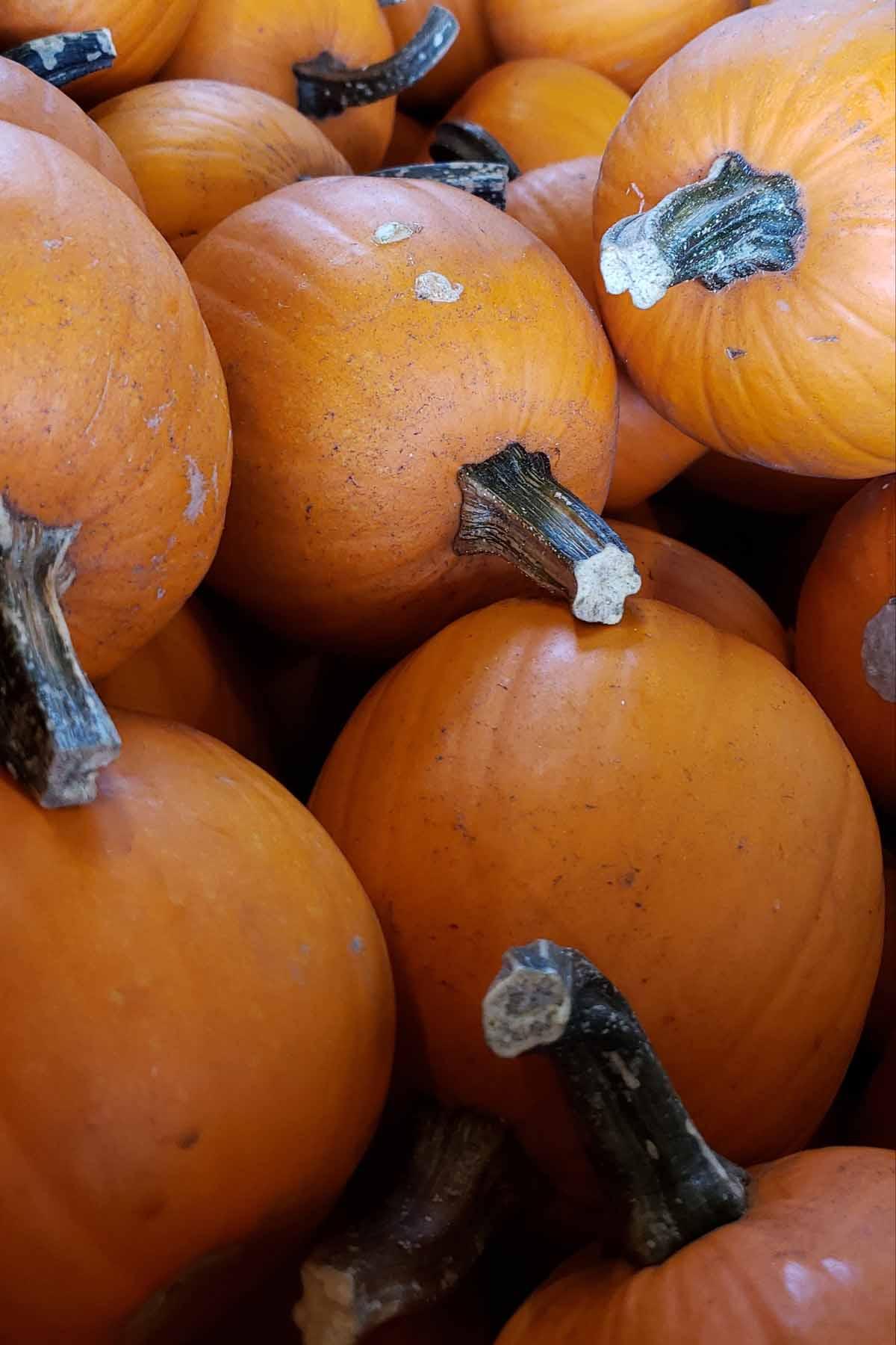 pile of pie pumpkins